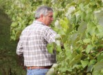 stever hill vineyards grape hand picking