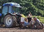 stever hill vineyards grape hand planting