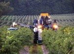 stever hill vineyards grape pick dusk