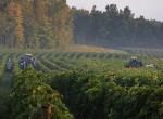 stever hill vineyards grape pick fall