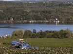 stever hill vineyards grape picking lake