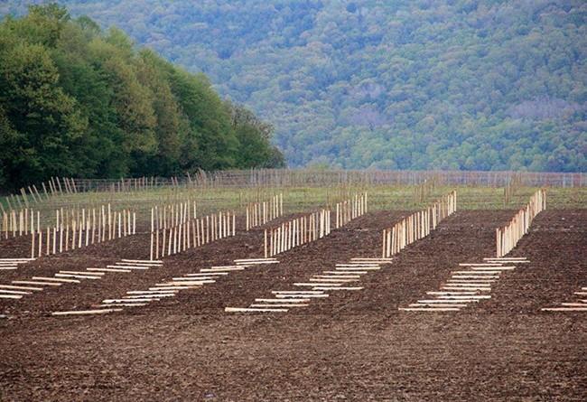 stever hill vineyards grape planting