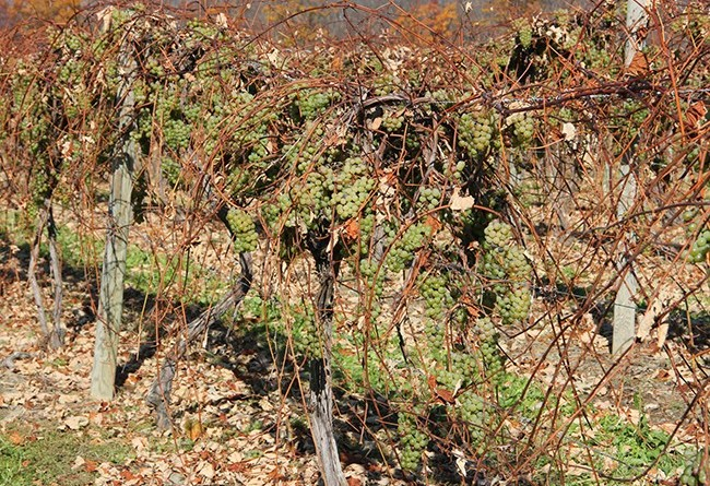 stever hill vineyards grapes ready