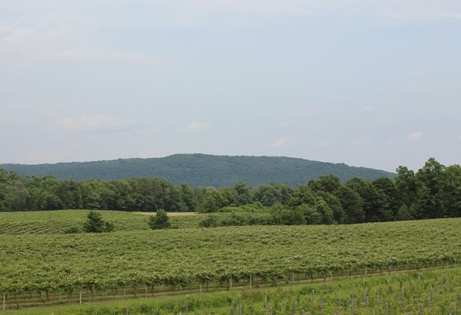 stever hill vineyards summer